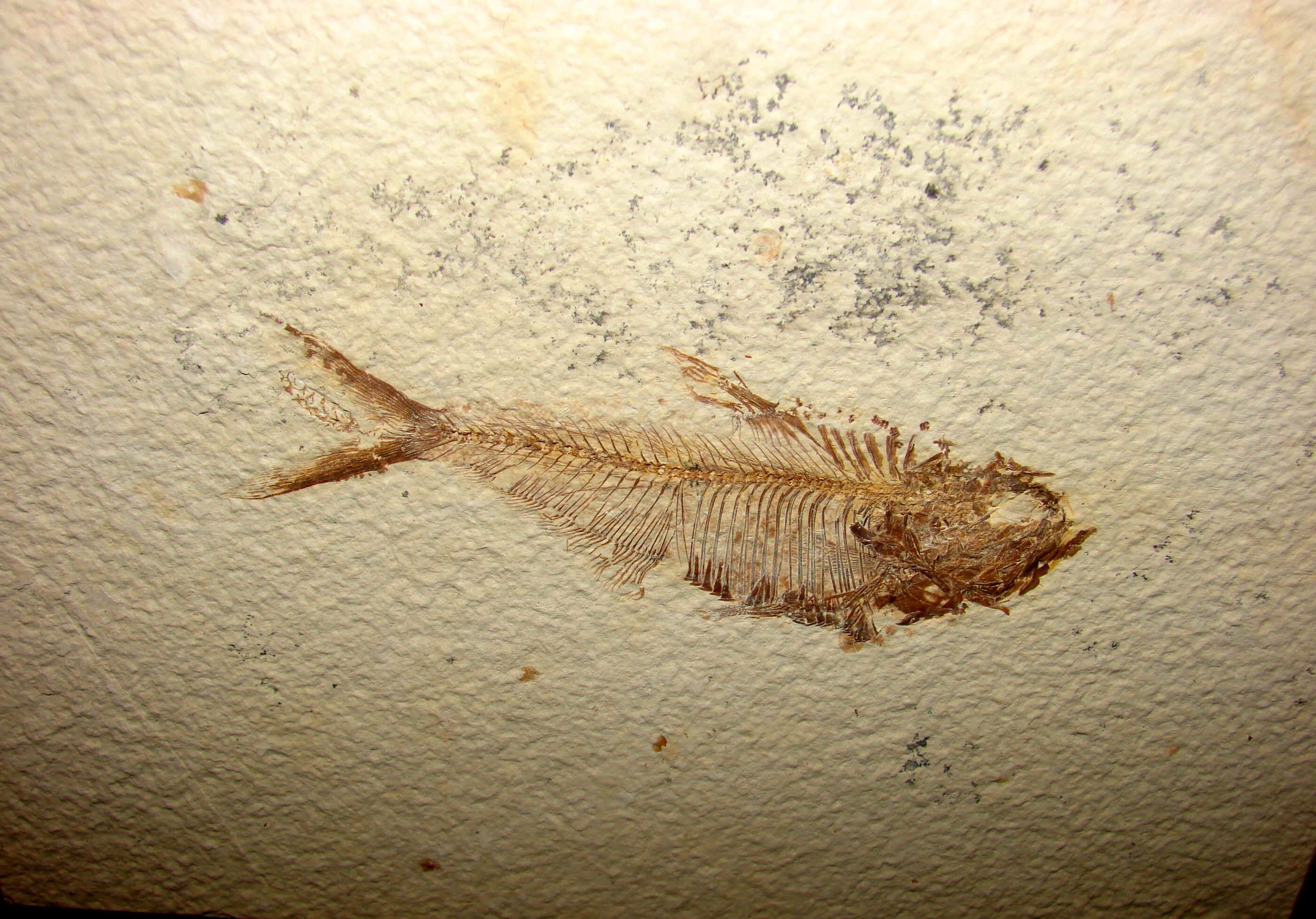http://www.artfromgod.com/fossilfish-11.jpg (807370 bytes)