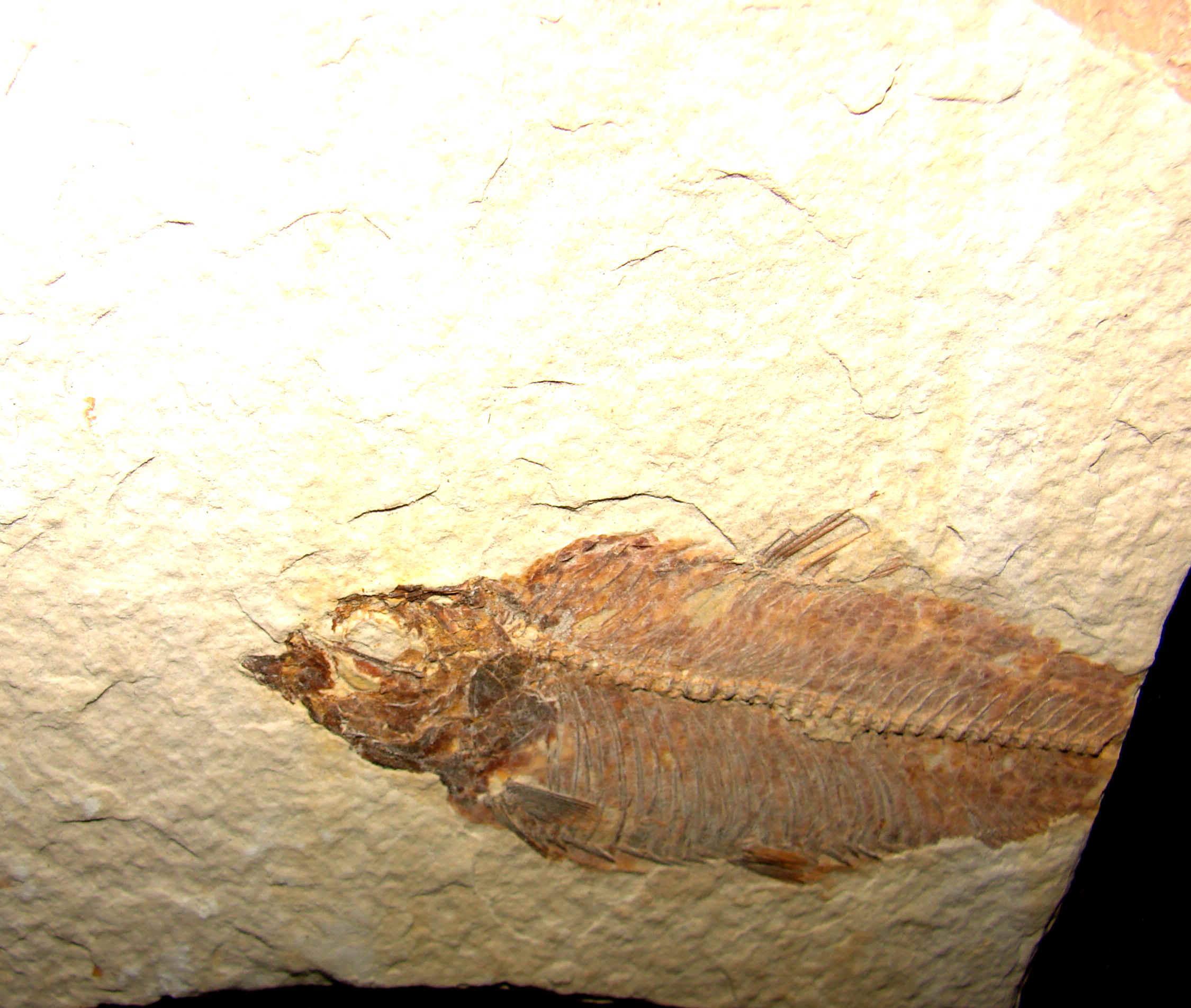 http://www.artfromgod.com/fossilfish-36.jpg (807370 bytes)